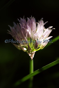 bloom of a chive plant