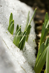 daffodil greens sprouting through the snow