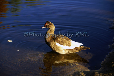 muscovy duck in the water