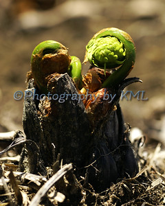fiddlehead ferns emerging in the spring
