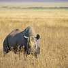 A black rhinocerous stands defiantly in the grasslands of Ngorogoro Crater. Rhinos are known to be extremely aggressive and readily charge when threatened. This has earned them the title of one of Africa's Big 5.