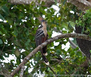Hoatzin bird, Peru Amazon