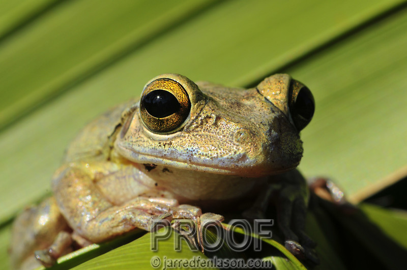 Tropical Tree Frog