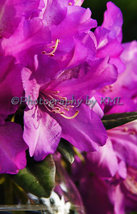 purple rhododendron bloom in a clear vase