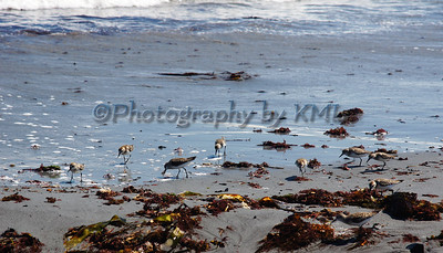 sandpiper birds along the edge of the ocean