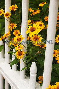 yellow daisies poking through the fence