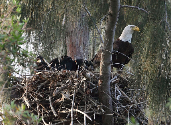 American Bald Eagle with young.