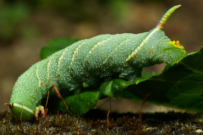 The Moro sphinx caterpillar, large moth