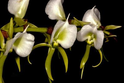 Angraecum Veitchii - Orchid Family (Orchidaceae)