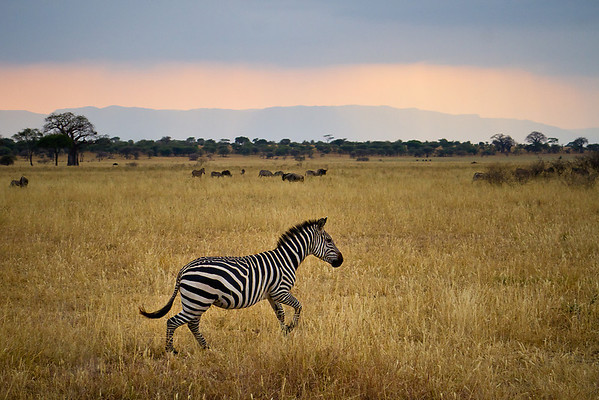 A zebra trots through the grasslands of the Great Rift Valley in the evening.