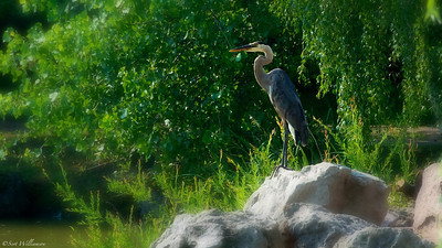 Heron on Watch