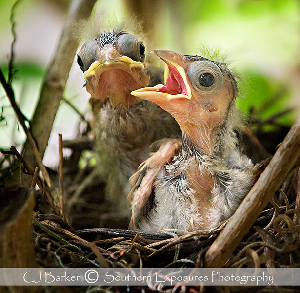 Baby Cardinals won Galveston's Featherfest Contest in 2009.  They hatched right outside my kitchen window.