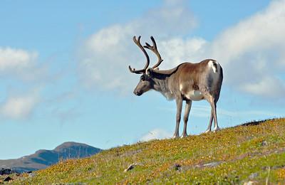 Reindeer in Abisko national park.