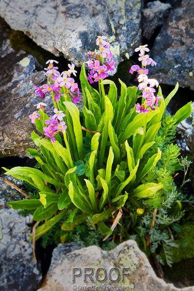 Wildflowers of Fletcher Mountain