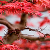 Fiery Bonsai<br /> <br /> Showa Kinen Park, Tachikawa, Japan.