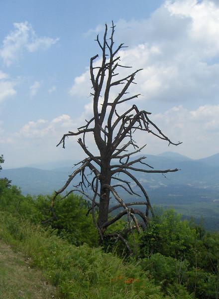 Tree on Sky Line Drive