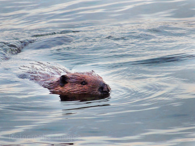 A Beaver Explores Its Environment