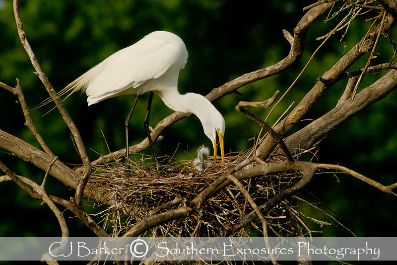 An Egret feeding a chick, shot at the High Island Rookery on Bolivar Island, Galveston Tx.