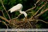 An Egret feeding a chick, shot at the High Island Rookery on Bolivar Island, Galveston Tx.
