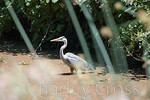 Blue Heron. Folsom, CA (16 May 2008)