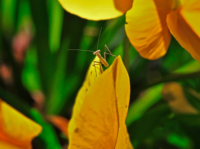 Praying Mantis Flower-2