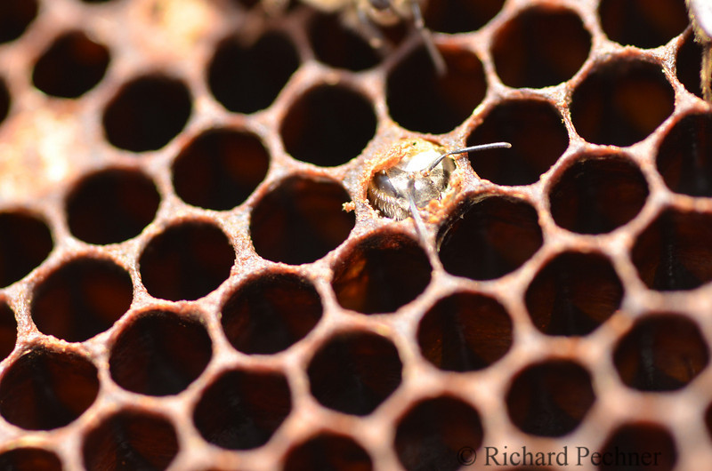 new bee emerging from the comb