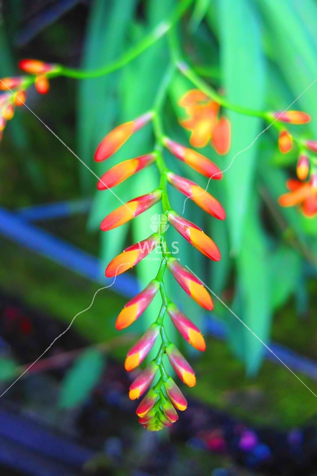 Firecracker plant in bloom, Alishan, Taiwan by kstellick