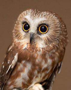 Saw-whet-Owl-printed_11x14_ReHab-2632