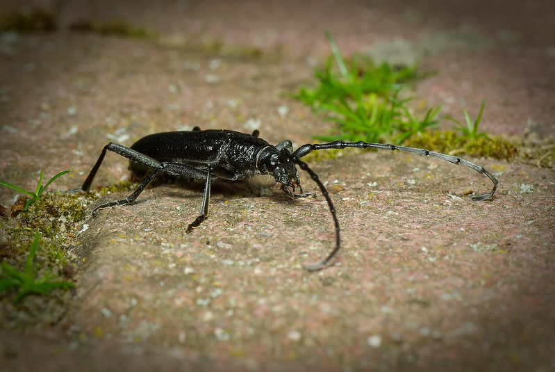 """A small beetle that has crossed my path, 4cm (1,57"""") long without antennae. Not to be confused with oak Capricorn"""