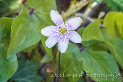 Sharp-leaved Hepatica (Hepatica acutiloba)