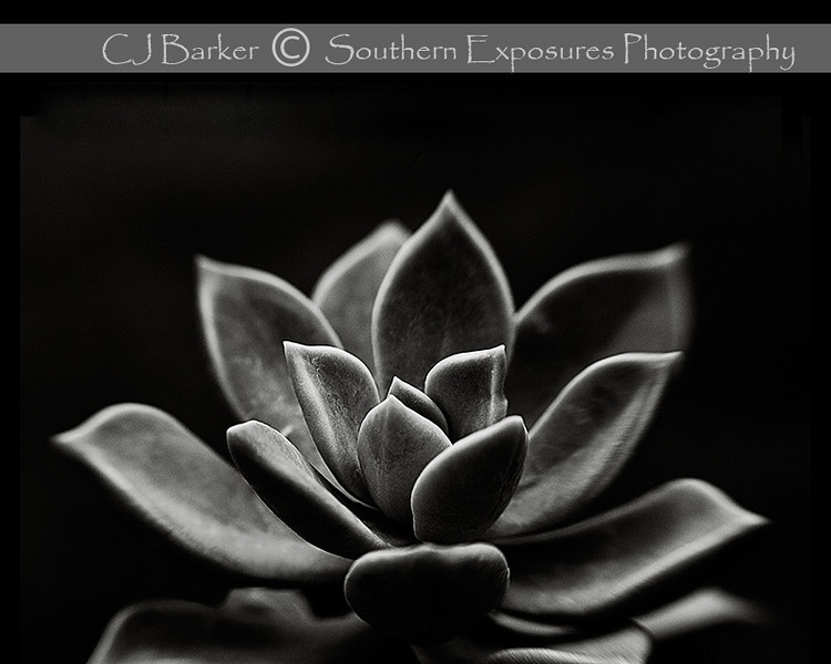 Succulent shot with a Lensbaby Composer lens.