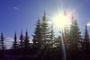 Spruce Trees Photos