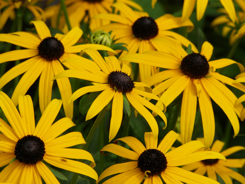 You're my... <br /> Black-Eyed Susan