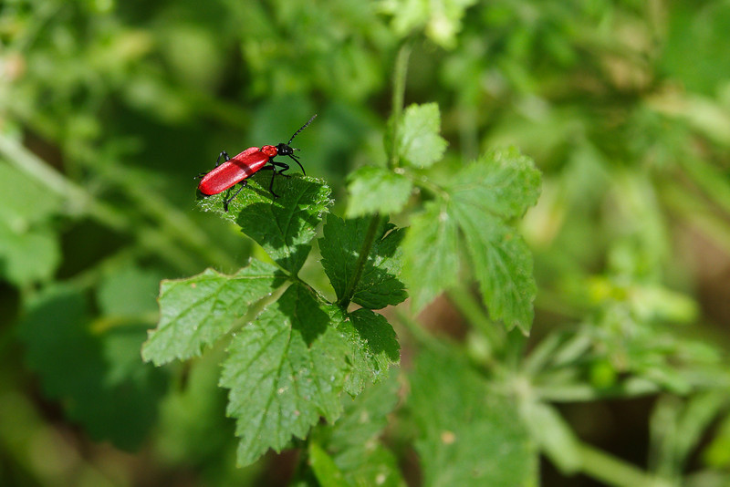 A little red beetles