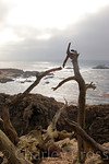Point Lobos State Reserve, California (1 Dec 2008)