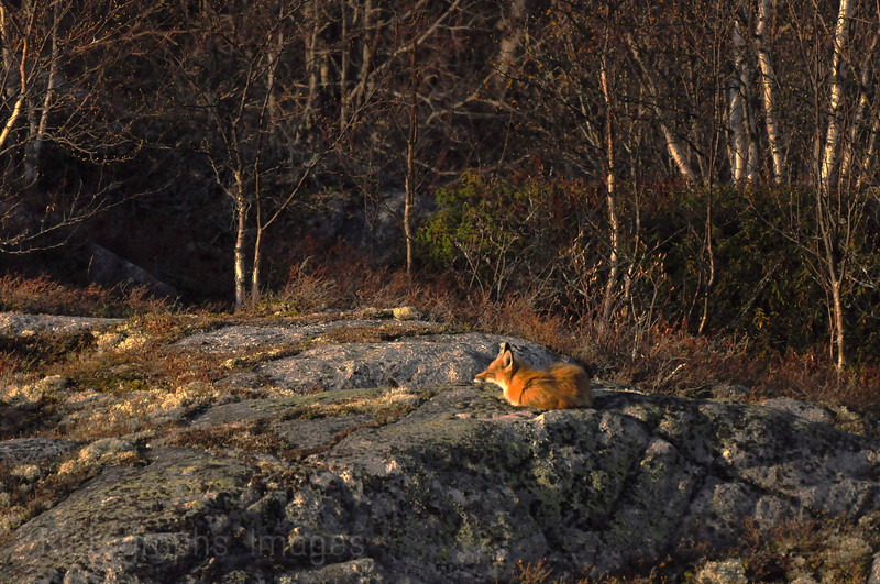 Red Fox, Sunning Itself, Spring, 2013.