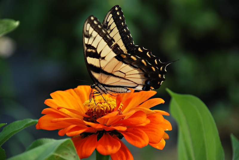 Tiger Swallowtail Butterfly on a Zinnia