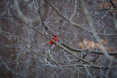 Cardinal at Hartwood Acres