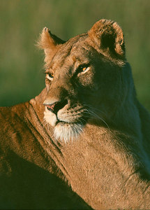 lioness scan ver3 printed cropped to vertical