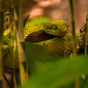 A pit viper waits for passing prey. Taken at the Skansa zoo and outdoor museum in Stockholm.
