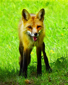 Fox Looking At You,
