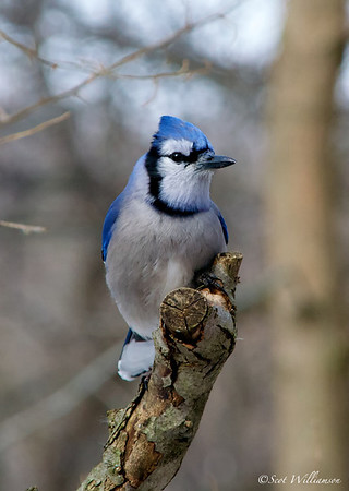 Purched Blue Jay