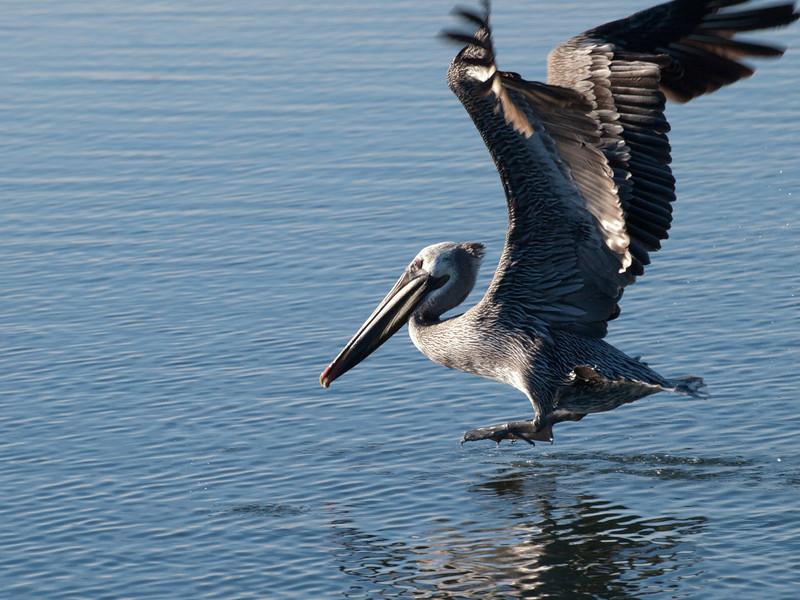 Bolsa Chica pelican