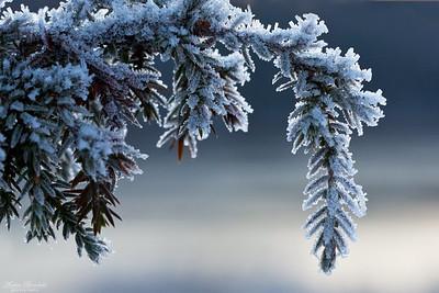 Enbuske med rimfrost