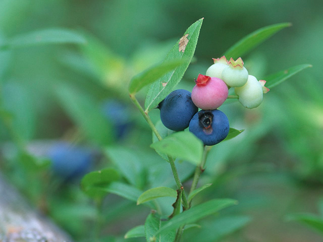 Blueberries....Almost