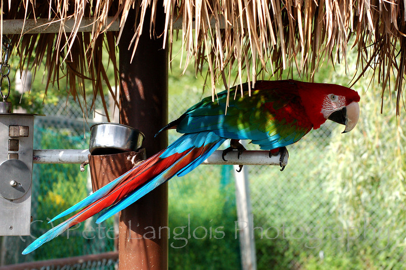 Green winged Macaw or Red and green Macaw commonly mistaken for a Scarlet Macaw, taken at York's Wild Animal Kingdom in York, Maine