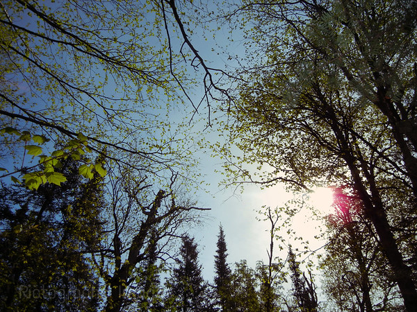 Trees Of The Boreal Forest