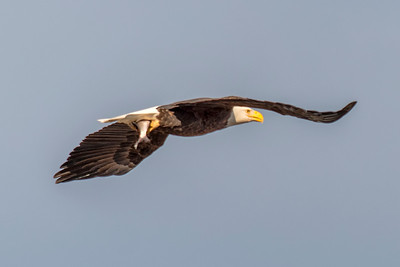 Bald Eagle with Fish in Claws