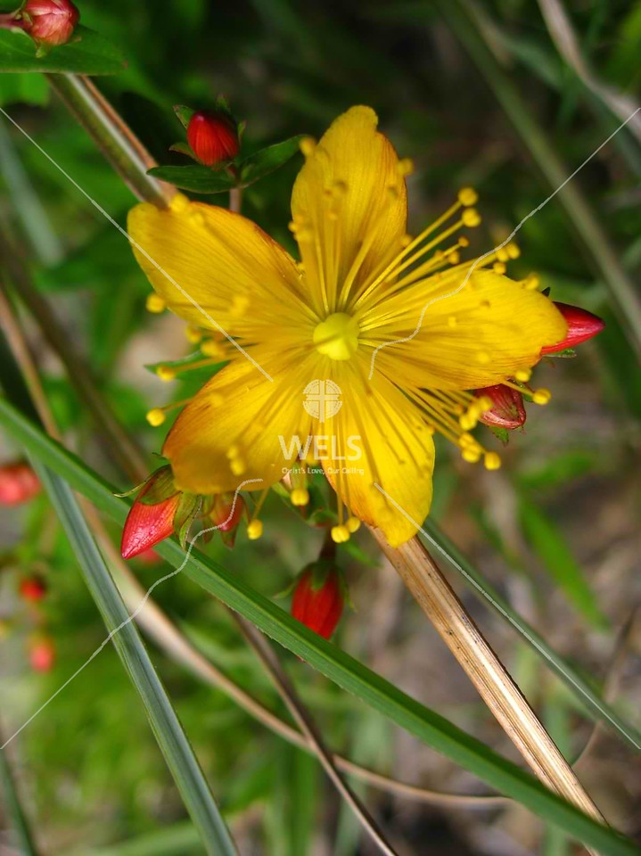 Wildflower in mountain meadow, Snow Mountain, Taiwan by kstellick
