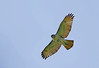 Young Red Tail Hawk 3